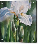 White Iris With Bud Acrylic Print by Sharon Freeman