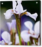 White Japanese Iris 2 Acrylic Print