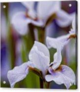 White Japanese Iris Acrylic Print