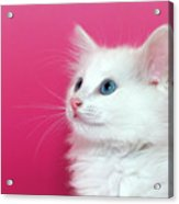 White Kitten On Pink Acrylic Print