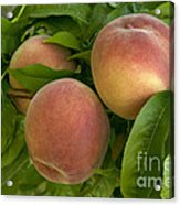 White Lady Peaches On A Branch Acrylic Print