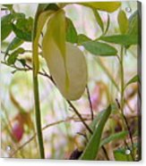 White Lady Slipper Acrylic Print