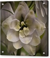White Larkspur Close Up By Jean Noren Acrylic Print