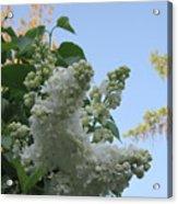 White Lilac Acrylic Print