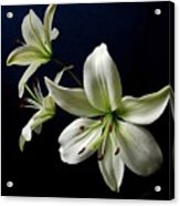 White Lilies On Blue Acrylic Print