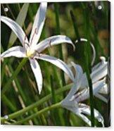 White Lillies Acrylic Print