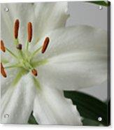 White Lily 1 Acrylic Print