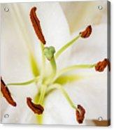 White Lily Macro Acrylic Print