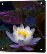 White Lily Rising Acrylic Print