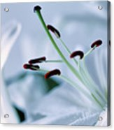 White Lily Triptych Part3 Acrylic Print