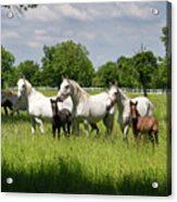 White Lipizzaner Mares Horse Breed With Dark Foals Grazing In A  Acrylic Print