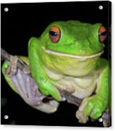 White-lipped Tree Frog Acrylic Print