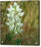 White Lupin Lupinus Albus Acrylic Print