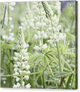 White Lupines Acrylic Print
