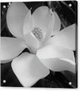 White - Magnolia - Beauty Acrylic Print