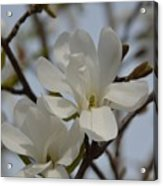 White Magnolia Blooming In Spring Acrylic Print