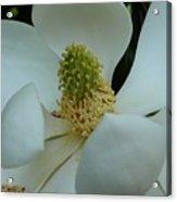 White Magnolia Acrylic Print