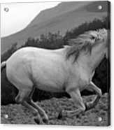 White Mare Gallops #1 -  Close Up Black And White Acrylic Print