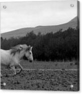 White Mare Gallops #1 - Panoramic Black And White Acrylic Print