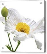 White Matilija Poppy On White Acrylic Print