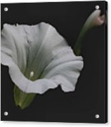 White Morning Glory Acrylic Print