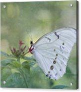 White Morpho Butterfly Acrylic Print