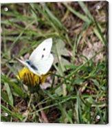 White Moth Acrylic Print