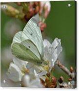White Moth On Blossom Acrylic Print