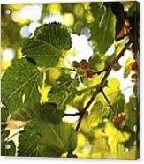 White Mulberries Acrylic Print