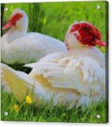 White Muscovy Ducks Acrylic Print