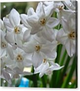 White Narcissi Spring Flower 2 Acrylic Print