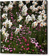 White Narcissus With Pink English Daisies In A Spring Garden Acrylic Print