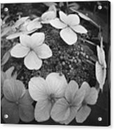 White On Black Hydrangea Petals Acrylic Print