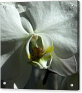 White Orchid In Spring Acrylic Print
