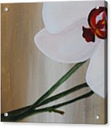 White Orchid Light Background First Section Acrylic Print