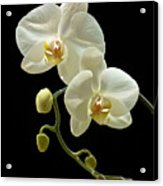 White Orchid On Black Background Acrylic Print