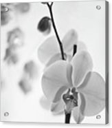 White Orchid On White Bw Acrylic Print