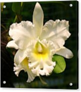 White Orchid Singapore Acrylic Print