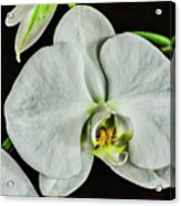 White Orchid On Black Acrylic Print
