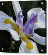 White Orchid With Yellow And Purple Acrylic Print