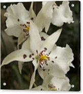 White Orchids 2 Acrylic Print