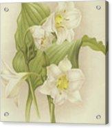White Orchids   Eucharis Sanderiana Acrylic Print