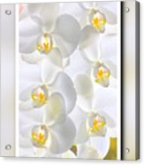 White Orchids Framed Acrylic Print