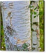 White Paper Birch Bark Along Bike Trail Near Walker-minnesota Acrylic Print