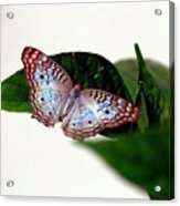 White Peacock Butterfly 2 Acrylic Print