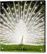 White Peacock  Acrylic Print