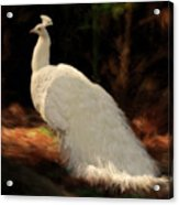 White Peacock In Golden Hour Acrylic Print