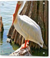 White Pelican By Cypress Tree Acrylic Print