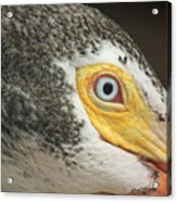 White Pelican Eye Acrylic Print