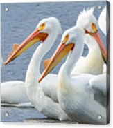 White Pelicans At Nelson Lake Acrylic Print